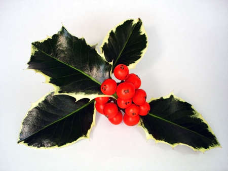 feastive: Sprig of Christmas Holly Isolated on White