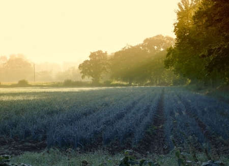 Field of crops just after sunrise