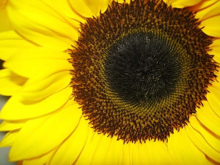 Close-up of a Sunflower head and Petals