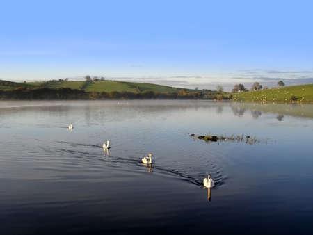 Swans on a misty Irish Lake on a fall morning                               Stock Photo