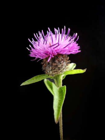 Purple Thistle Head Isolated On Black Stock Photo