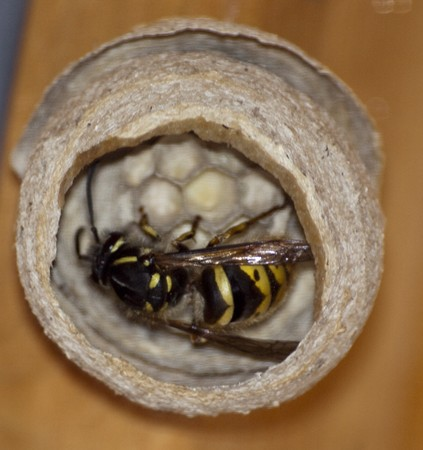 Wasp in Nest Stock Photo - 7043253