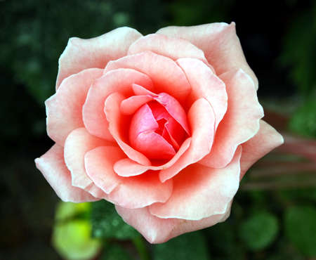 beautiful rose flower image at the garden