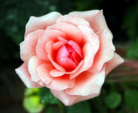 flowers horizontal: beautiful rose flower image at the garden
