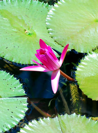 beautiful lotus flower image at the pool gardens photo