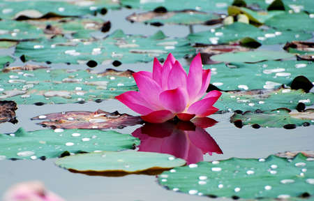 Beautiful lotus flower image at the water gardens stock photo beautiful lotus flower image at the water gardens stock photo 1975508 mightylinksfo