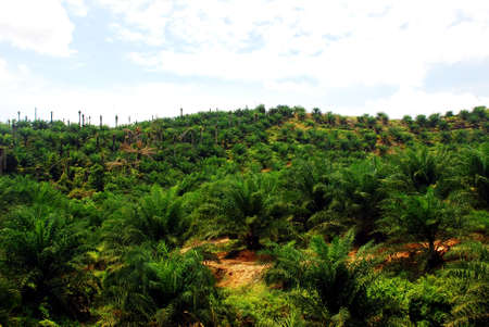 focus aoil palm estate image at the farm  Stock Photo