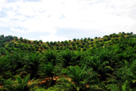 tree planting: focus aoil palm estate image at the farm  Stock Photo