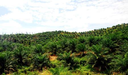 focus aoil palm estate image at the farm  Stock Photo