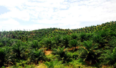 palm oil plantation: focus aoil palm estate image at the farm  Stock Photo