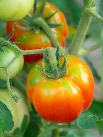 Growing fresh tomatoes in the home garden