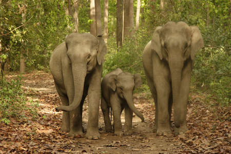 Asiatic Elephant family with young calf Elephas maximus in Corbett Tiger Reserve,Uttaranchal,India