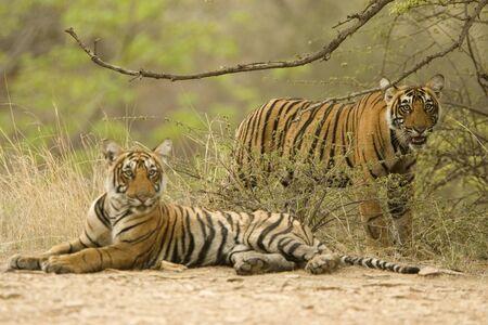 Tigers Panthera Tigris  Bengal tiger in Ranthambore Tiger reserve national park,Rajasthan,India LANG_EVOIMAGES