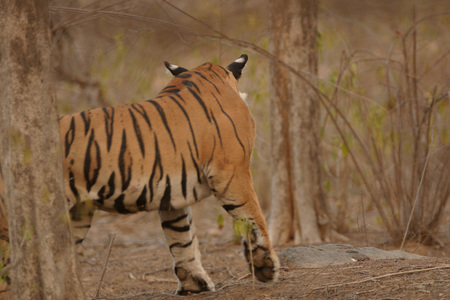 Tiger Panthera tigris,Ranthambore Tiger Reserve National Park,Rajasthan,India