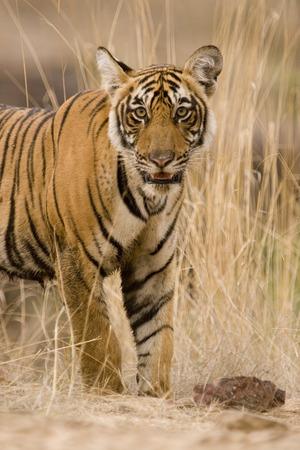 Tiger Panthera Tigris  Bengal tiger in Ranthambore Tiger reserve national park,Rajasthan,India Stock Photo