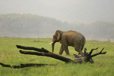 Asiatic Elephant Elephas maximus lone tusker in heat or Musth stage,Corbett Tiger Reserve,Uttaranchal,India
