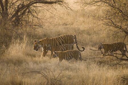 Tigress with cubs Panthera Tigris  Bengal tiger in dry grasslands of Ranthambore Tiger reserve national park,Rajasthan,India