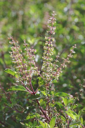 Plant,Tulsi or Holy Basil Ocimum sanctum,Ayurvedic Medicinal Plant Stock Photo