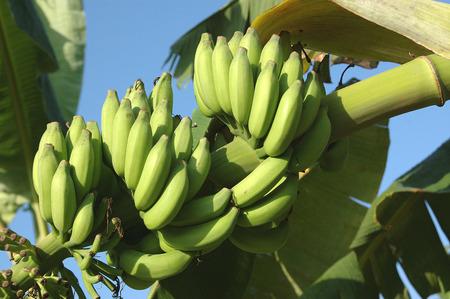 English Name Banana,Botanical Name Musa paradisiaca,M balbisiama,M cavendishii,Family  Musaceae,bunch of banana plantain fruit