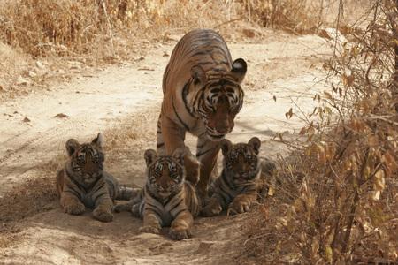 Tigress with cubs Panthera tigris sitting,Ranthambore National Park,Rajasthan,India LANG_EVOIMAGES