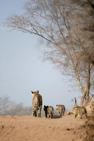 Tigress with cubs Panthera tigris searching prey,Ranthambore National Park,Rajasthan,India LANG_EVOIMAGES