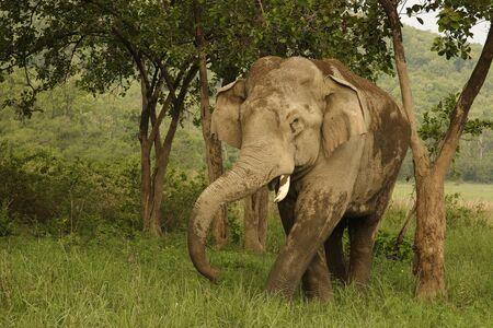 Asiatic Elephant  Elephas maximus covered in mud,Corbett Tiger Reserve,Uttaranchal,India