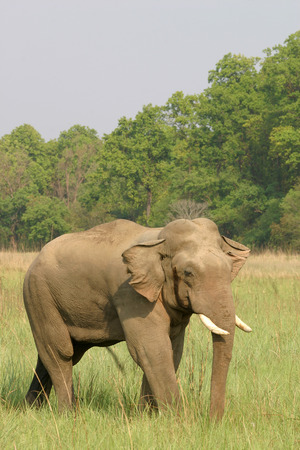 Asiatic Elephant tusker  Elephas maximus  lone in heat or Musth stage,Corbett Tiger Reserve,Uttaranchal,India