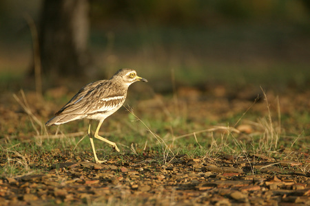 Bird,Eurasian Thicknee or stone curlew Numenius arquata,Ranthambore Tiger Reserve National Park,Rajasthan,India