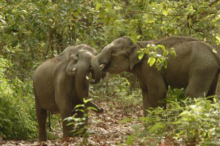 Asiatic Elephants tusker Elephas maximus sparring,Corbett Tiger Reserve,Uttaranchal,India