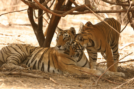 Guda Tigress with one year old cub sitting Panthera tigris,Ranthambore Tiger Reserve National Park,Rajasthan,India Stock Photo