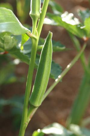 Vegetable,Okra Abelmoschus esculentus,Bhendi English Name Ladies Finger Botanical Name  Abelmoschus esculentus L Moench Family Malvaceae