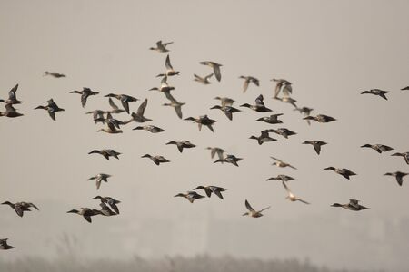Water birds flying in okhla barrage Stock Photo