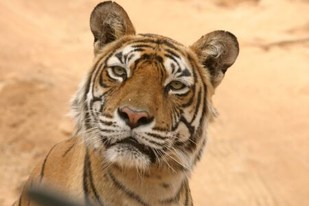 Machali Tigress Panthera tigris of lake area looking at camera,Ranthambore Tiger Reserve National Park,Rajasthan,India