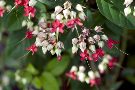 영광 보리, Clerodendron 많은 붉은 꽃 창백한 흰색 백합 출혈 심장 포도 나무, clerodendrum thomsoniae, Clerodendron infortinatum