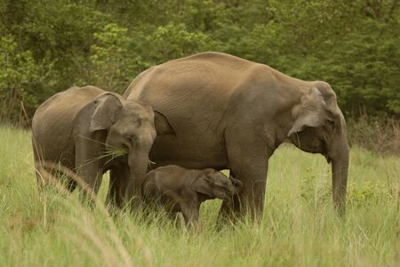 Asiatic Elephant with young calves Elephas maximus  in  Corbett Tiger Reserve,Uttaranchal,India