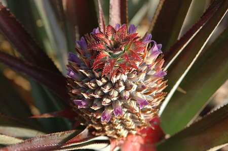 Fruits,English Name Pineapple,Botanical Name Ananas comosus (L) Merr Family Bromeliaceae Young Pineapple with flowers