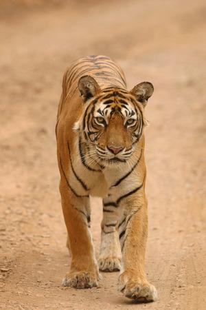 Tigress Panthera tigris in Ranthambore Tiger Reserve National Park,Rajasthan,India