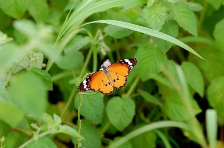 Insects,Butterfly,Plain Tiger (Danaus chrysippus),Gujarat,India