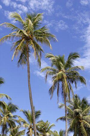 konkan: Coconut trees against blue sky,Village Bhogwe,Konkan,District Sindhudurga,Maharashtra,India