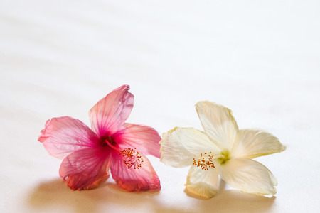 Nature,Shoe flower hibiscus color pink and white used for Ayurvedic and Herbal medicine,India