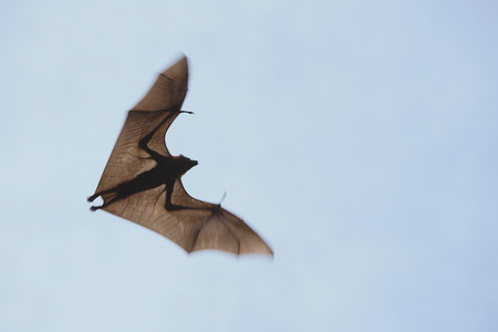 Indian flying fox found in district Bhuj,Kutch,Gujarat,India