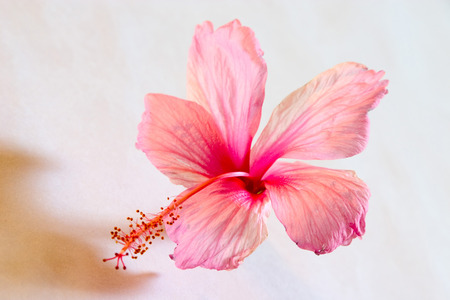 Nature,Shoe flower hibiscus color pink used for Ayurvedic and Herbal medicine,India