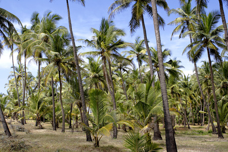 konkan: Coconut trees and blue sky,Village Bhogwe,Konkan,District Sindhudurga,Maharashtra,India