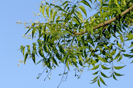 lance shaped: Medicinal Plant,Green Neem tree Melia Azadirachta Lin LANG_EVOIMAGES