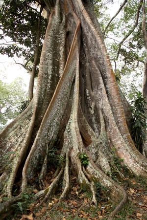 Banyan tree Botanical name Ficus bengalensis,Periyar wildlife Sanctuary,Thekkady,Kerala,India