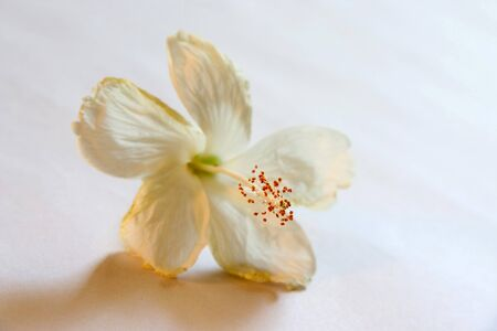 Nature,Shoe flower hibiscus color white used for Ayurvedic and Herbal medicine,India