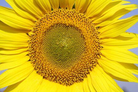 Close ups of Sunflower growing in field,Karnataka,India Stock Photo