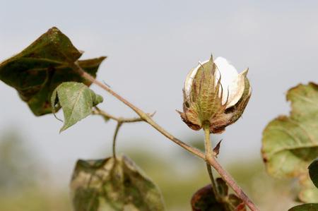 Agriculture,Cotton Bulbs on plant in Farm,Akola,Maharashtra,India Stock Photo
