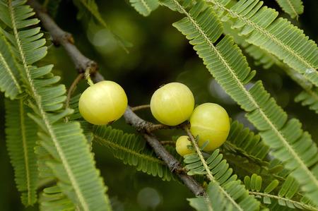 Amla- of kruisbesvruchten worden veel gebruikt in de Ayurvedische geneeskunde als antioxidant anti-diabetisch en hypocholesteremisch middel, India