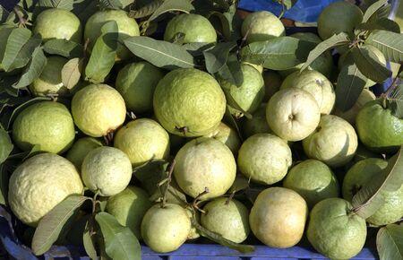 Fruit,guava,India